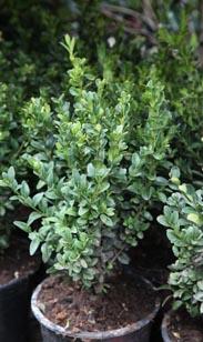 pflanze ähnlich bux